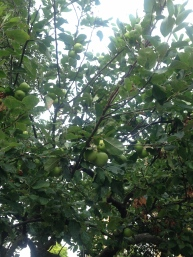 APPLES GROWING IN THE ALBERT GARDEN. CIDER ANYONE?