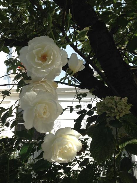 A rose is still a rose on Regent's Park Road, even in late September.