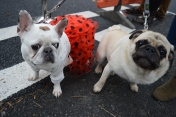 PUGS READY FOR THE DOG SHOW